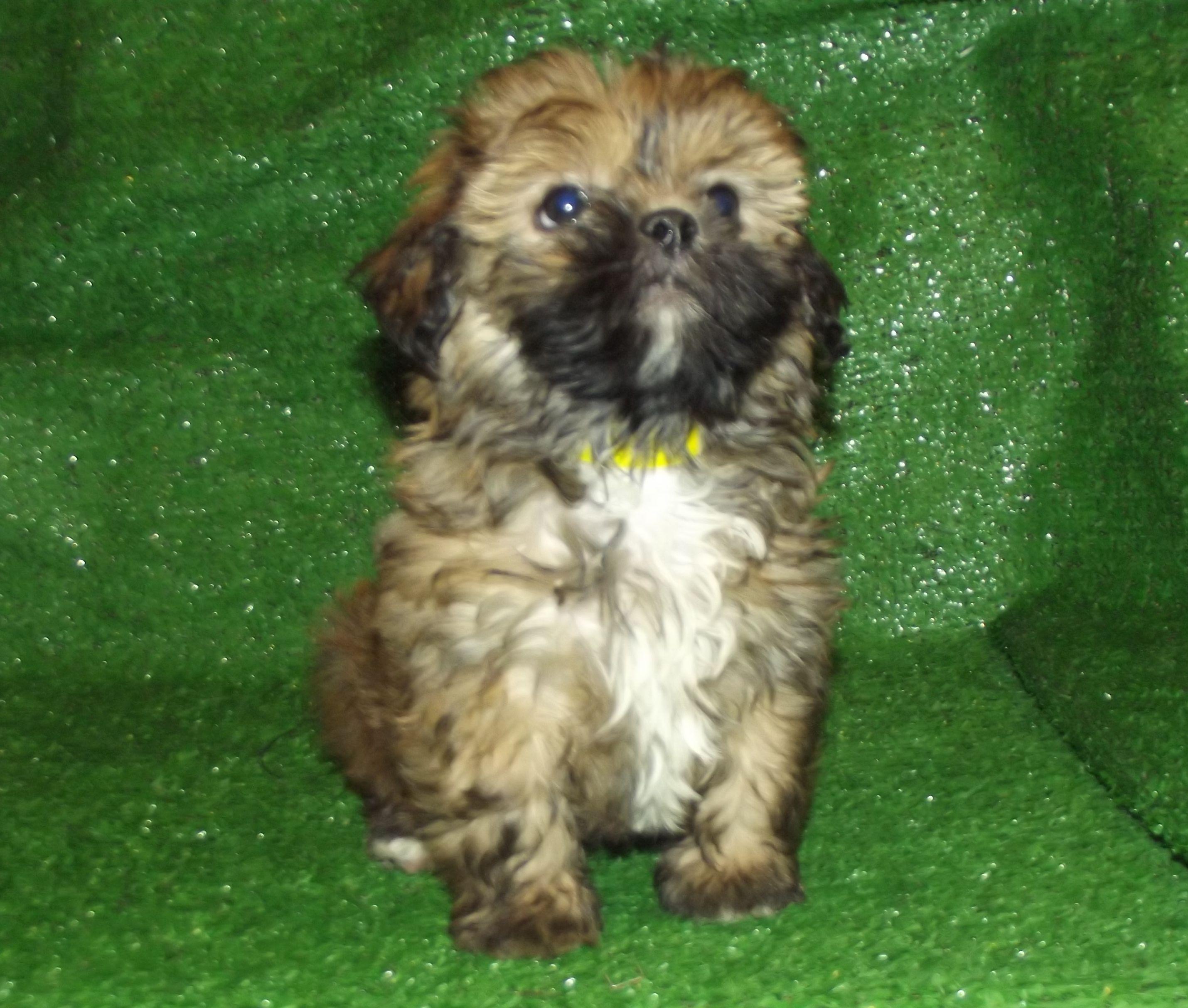 Shorkie (Shih Tzu X Yorkshire Terrier). Small nonshedding