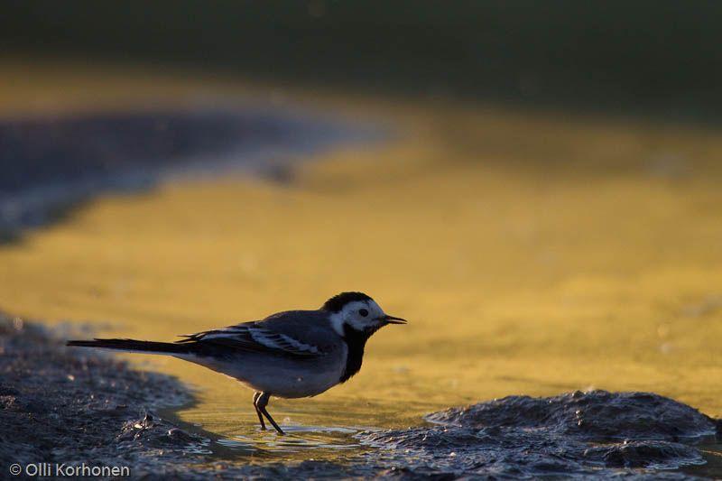 Västäräkki kultaisen lammikon rannalla photo: Olli Korhonen