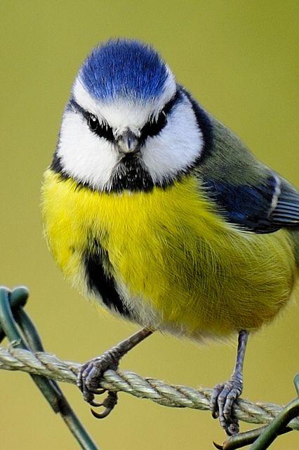Bluetit 7242 Beautiful Birds Pet Birds Birds