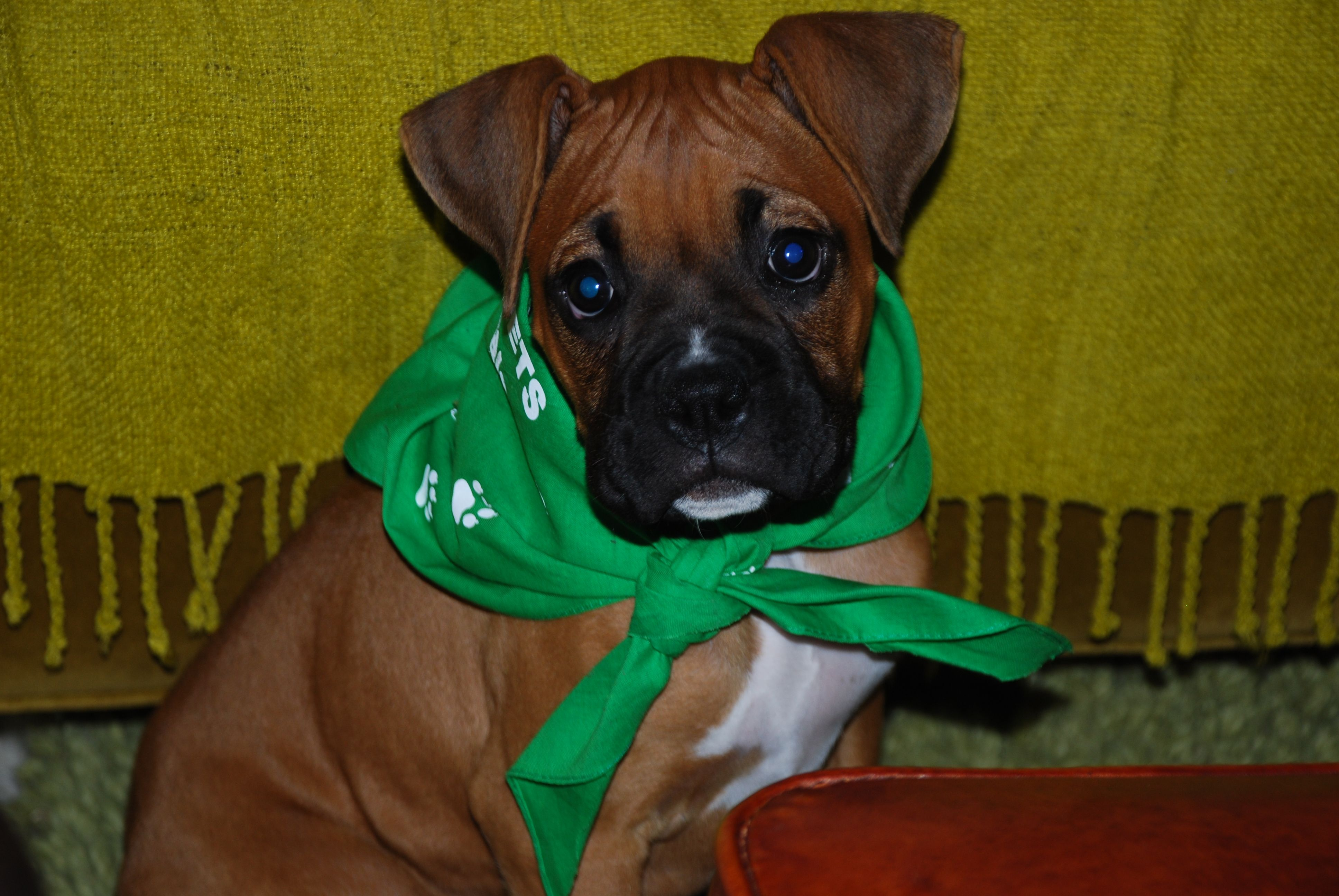REO's Cinnamon Twist Beautiful dogs, Boxer, Fun