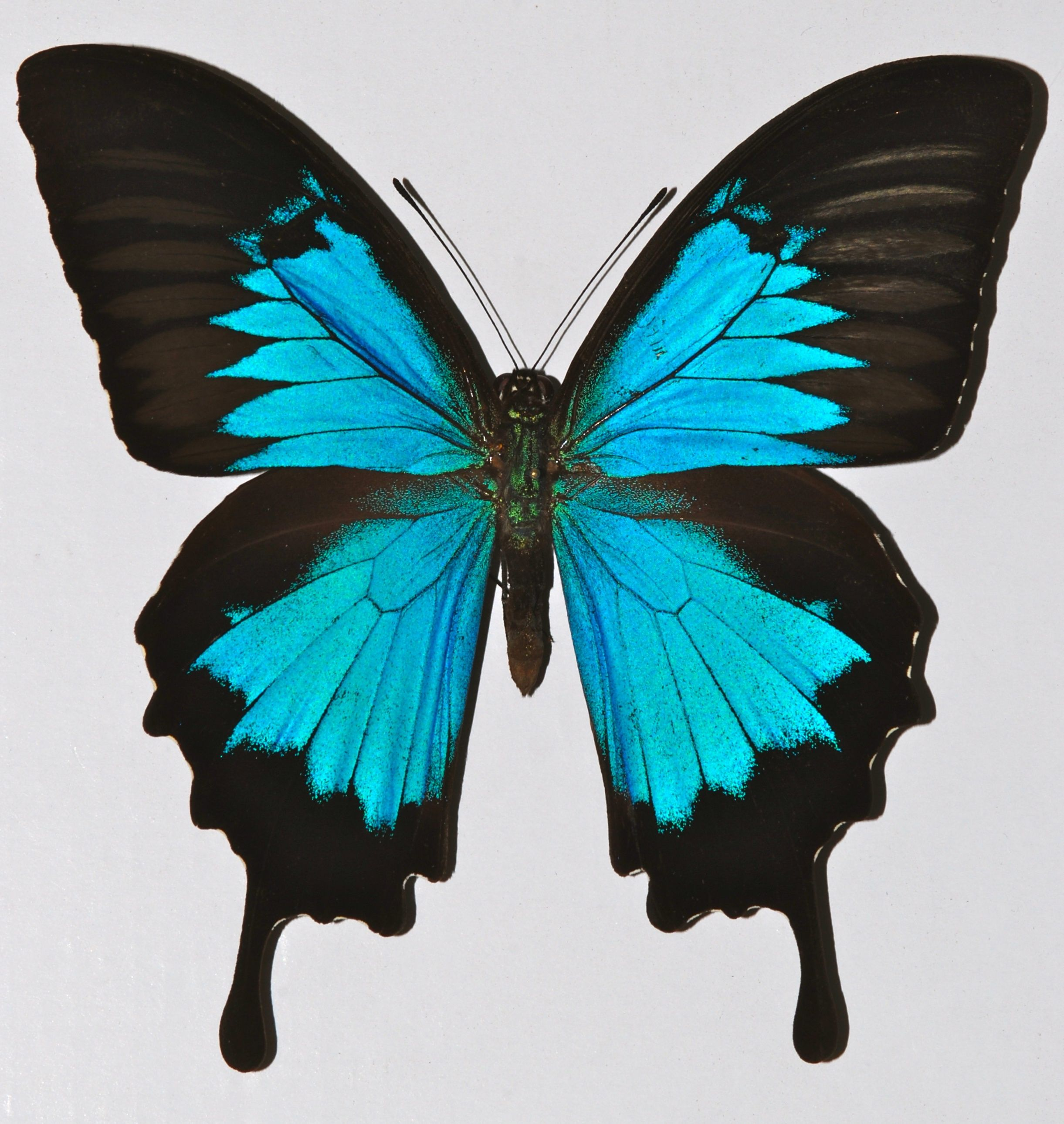 The Ulysses butterfly is found in most tropical rainforest