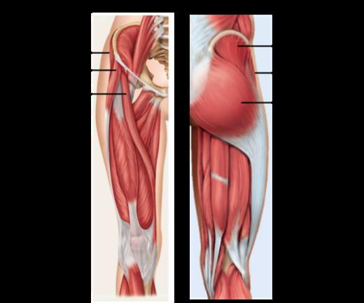 Butt Muscle Diagram