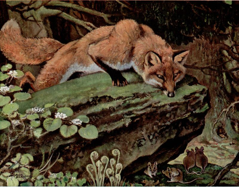 Paul Bransom - Red Fox, Niagara Falls Gallery