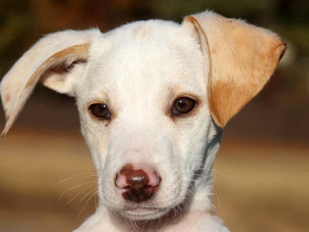 Adopt Freddy on Dogs, Whippet mix, Labrador retriever