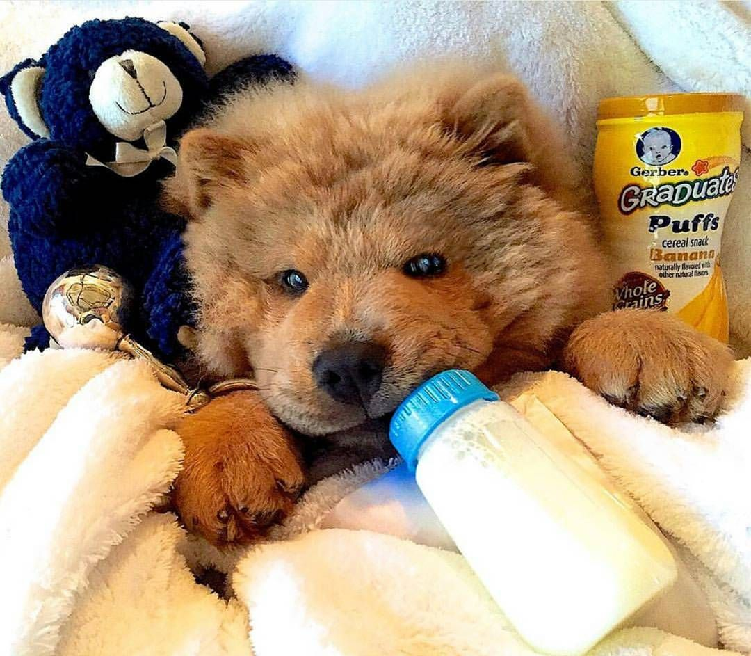 2 458 Likes 37 Comments Chow Chow Puppies