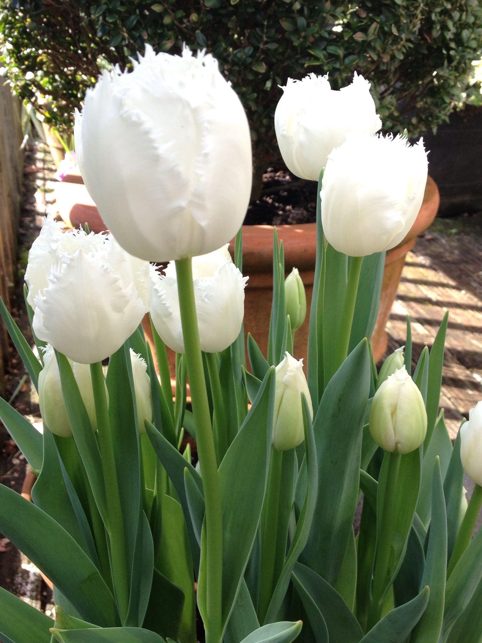 White Tulips My Fav Floral Pinterest Flowers White Gardens