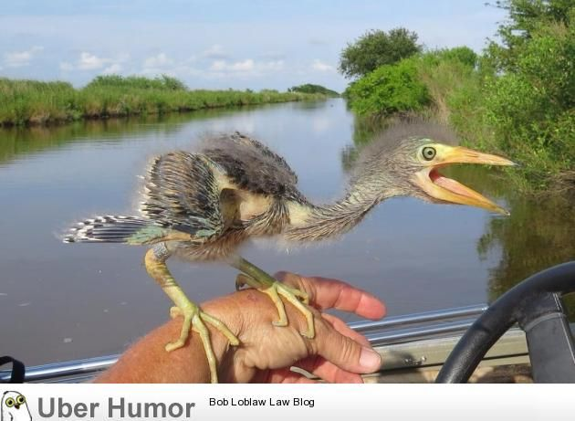 Wonder what happened to the dinosaurs? This is a baby blue heron.