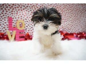 Available Puppies Petland Racine Dogs For Sale Puppies Pet Adoption