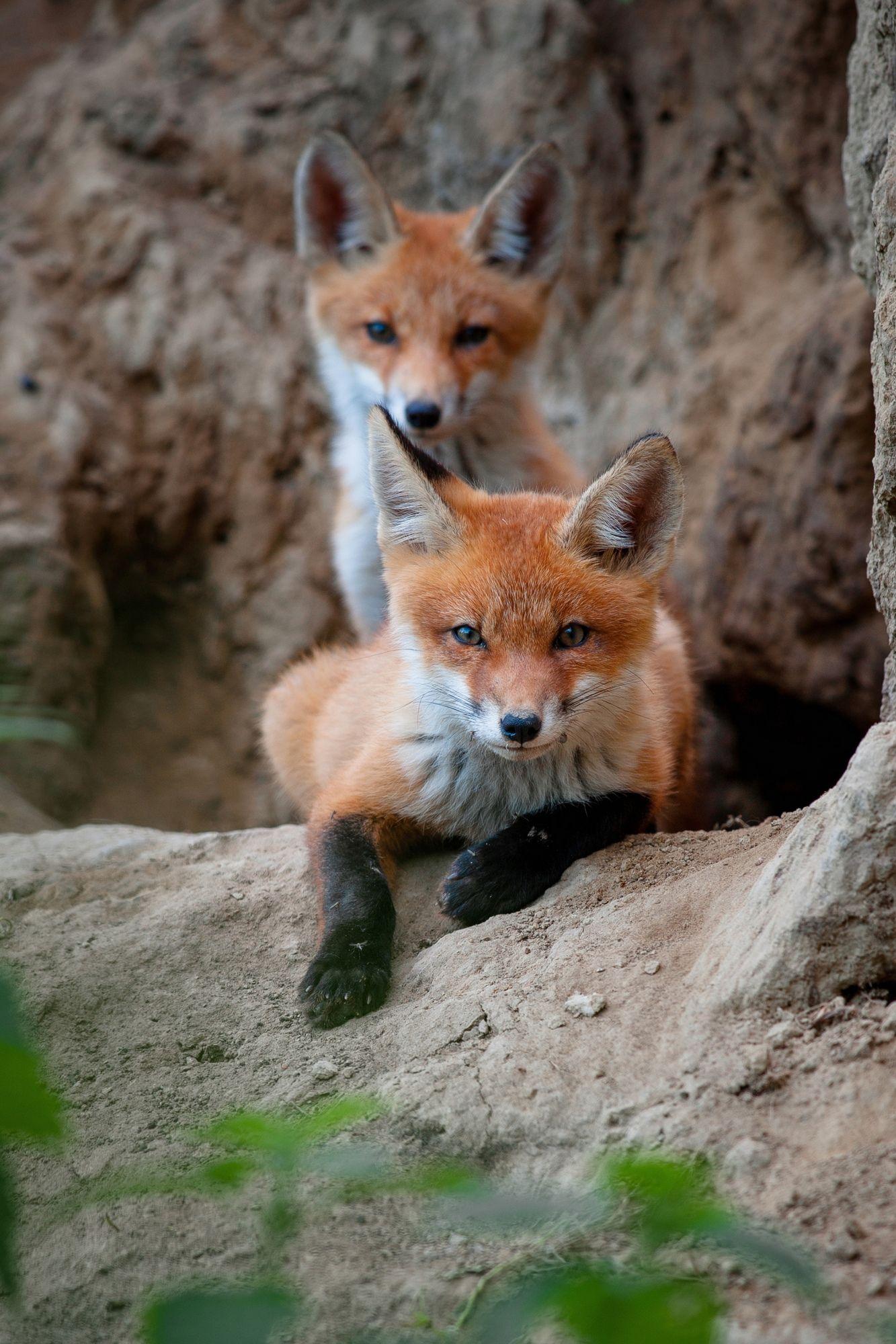 Red Fox Cubs by Alex Drangovsky on 35Photo Лисята