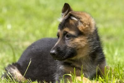 How To Find A Free German Shepherd Puppy For Adoption Shepherd