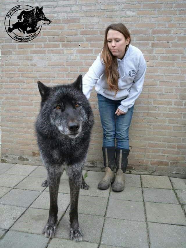 Wolfdog Wolf Hybrid Dogs Cute Dogs Dogs