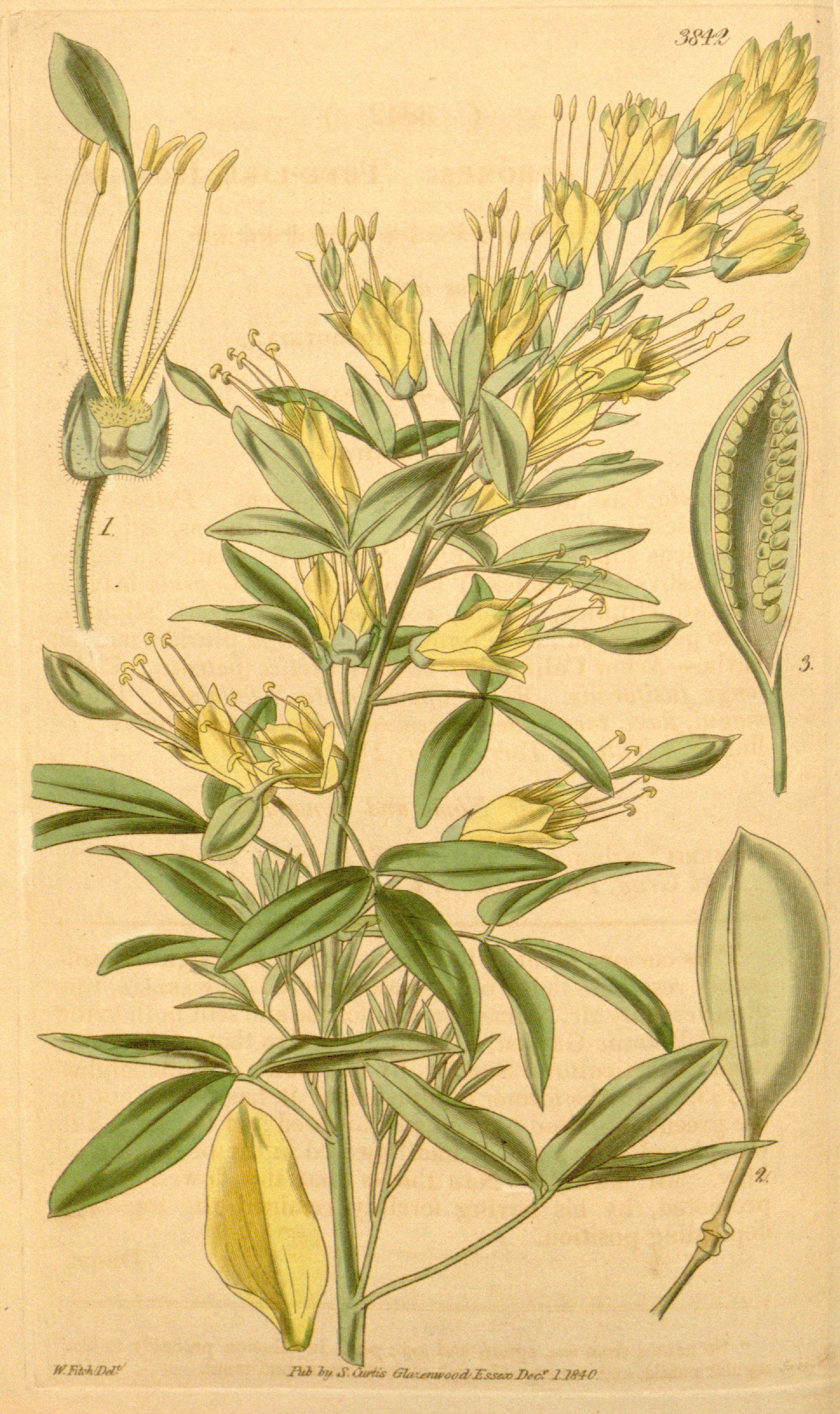 California Cleome Cleome Isomeris Perennial Plants Grow To 6