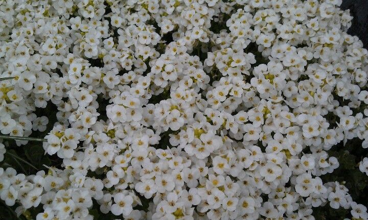 Spring blooms -Rock Cress