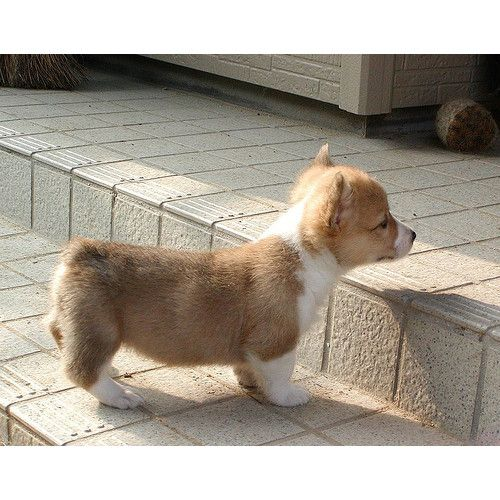 Awwwww Corgi Puppies Have Trouble With Stairs Cute Animals