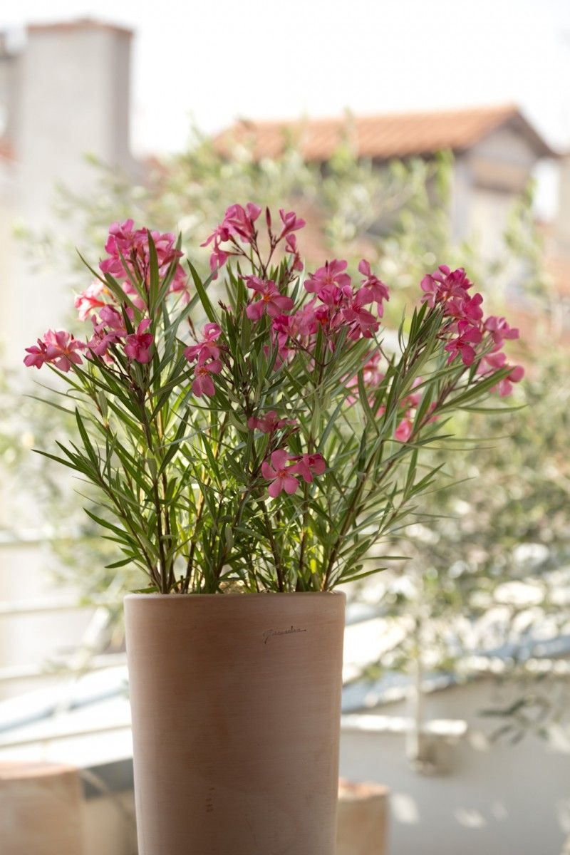 Laurier rose un parfum de voyage jardinage pinterest laurier parfum et laurier rose - Arrosage laurier rose en pot ...