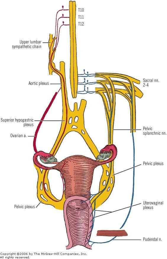 Pain Pathway Female Reproductive System Note Ovary Upper