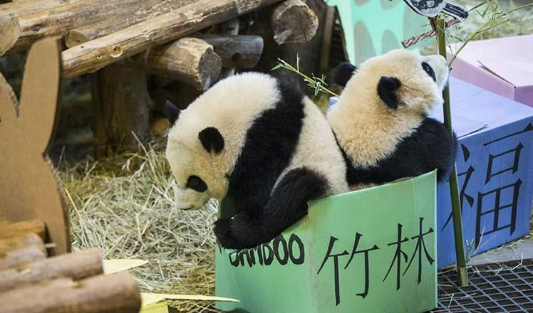 China's most beloved national treasure the giant panda