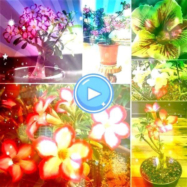 Purple Desert Rose Flowers Seeds DIY Perennial Home Garden Bonsai Pot Outd Japanese White Mix Purple Desert Rose Flowers Seeds DIY Perennial Home Garden Bonsai Pot Outdoo...