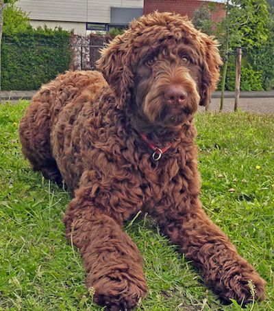 Bouvier Poodle Mix Dog With Curly Brown Hair Doodle Dog Breeds Doodle Dog Poodle Mix Breeds