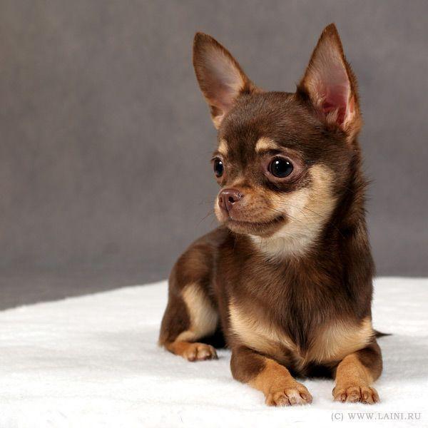 Female Chihuahua Puppy Chocolate And Tan Chihuahua Chihuahua