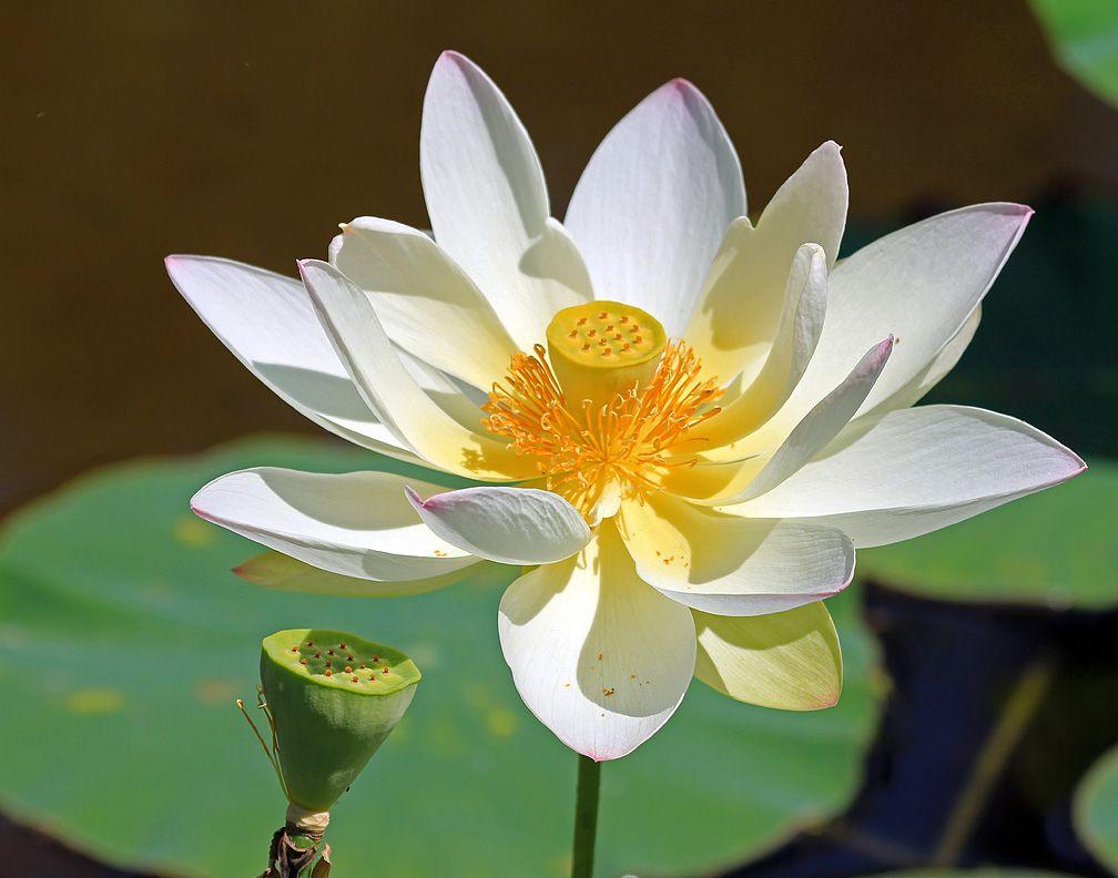 Mckee Gardens Lotus Water Lilies And Lotus Pinterest Lotus
