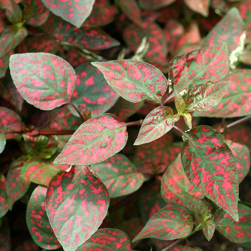 faaxaalforumgratuitca/t556-photo-d-arbrisseau-plante-aux