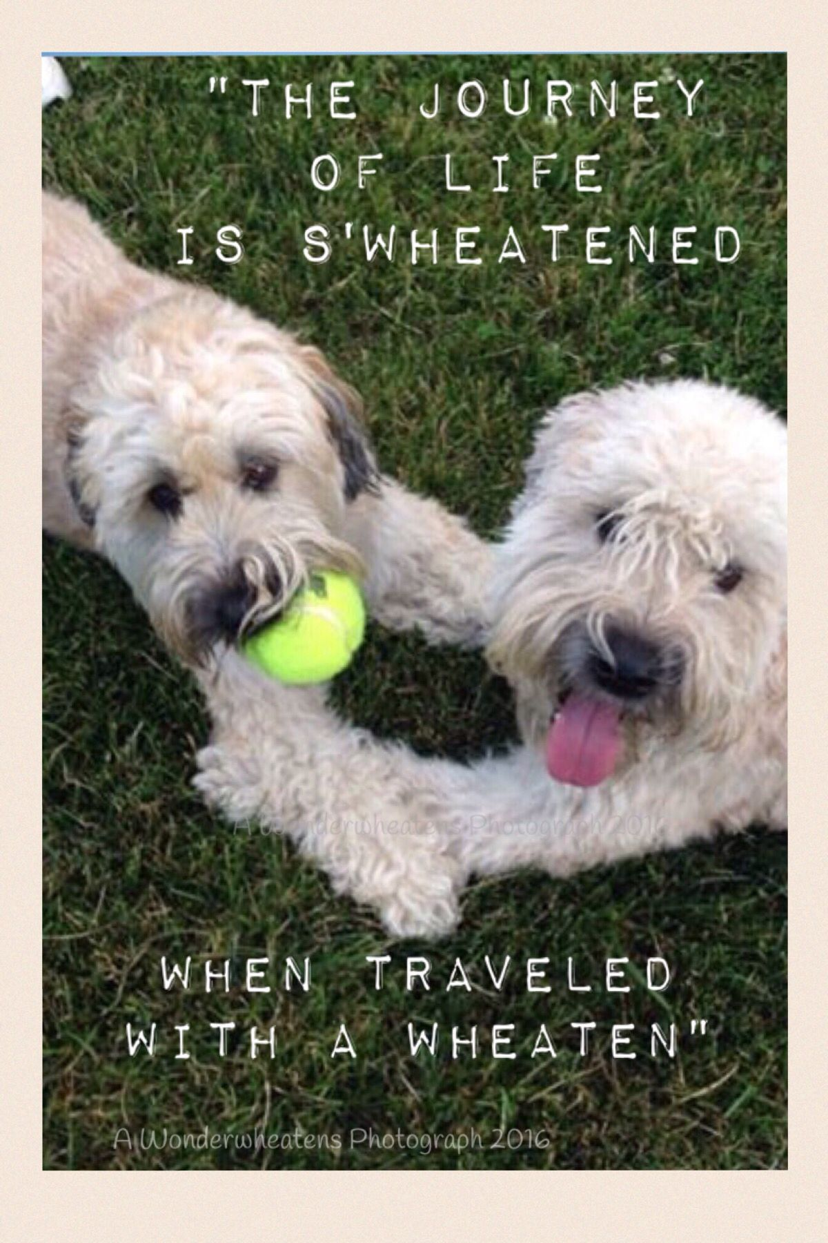 Love This Breed Soft Coated Wheaten Terrier Wheaten Terrier