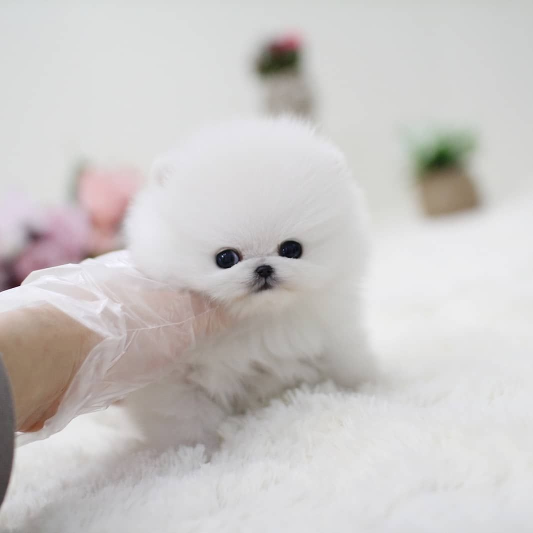 Pin On Teacup Pomeranian Puppies For Sale