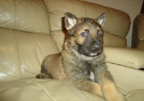 Available In Fresno California This German Shepherd Is One