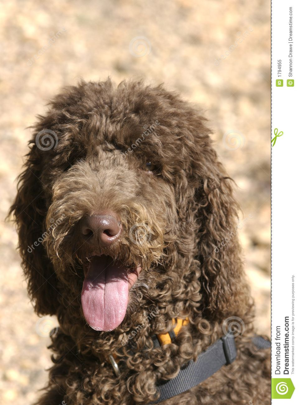 Brown Standard Poodles Happy Chocolate Brown Poodle With A
