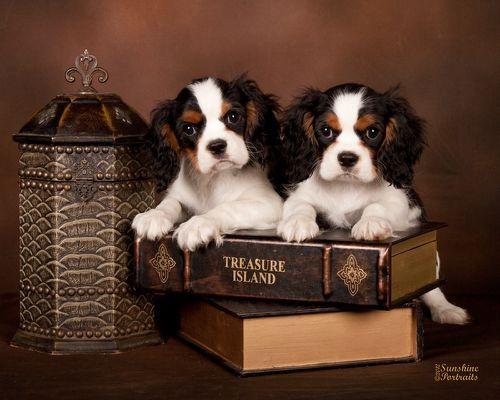 Cavalier King Charles Spaniels King Charles Cavalier Spaniel Puppy King Charles Puppy Cavalier King Charles