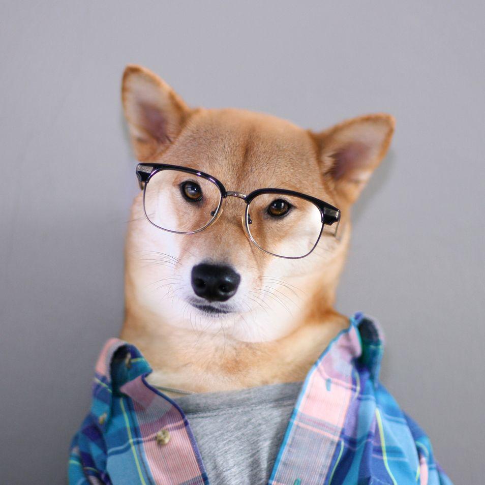 Sizzle Don T Sweat Mensweardog Menswear Dog Fashion Shiba Dapper Glasses Madras Menswear Dog Cute Dog Pictures Cute Animals