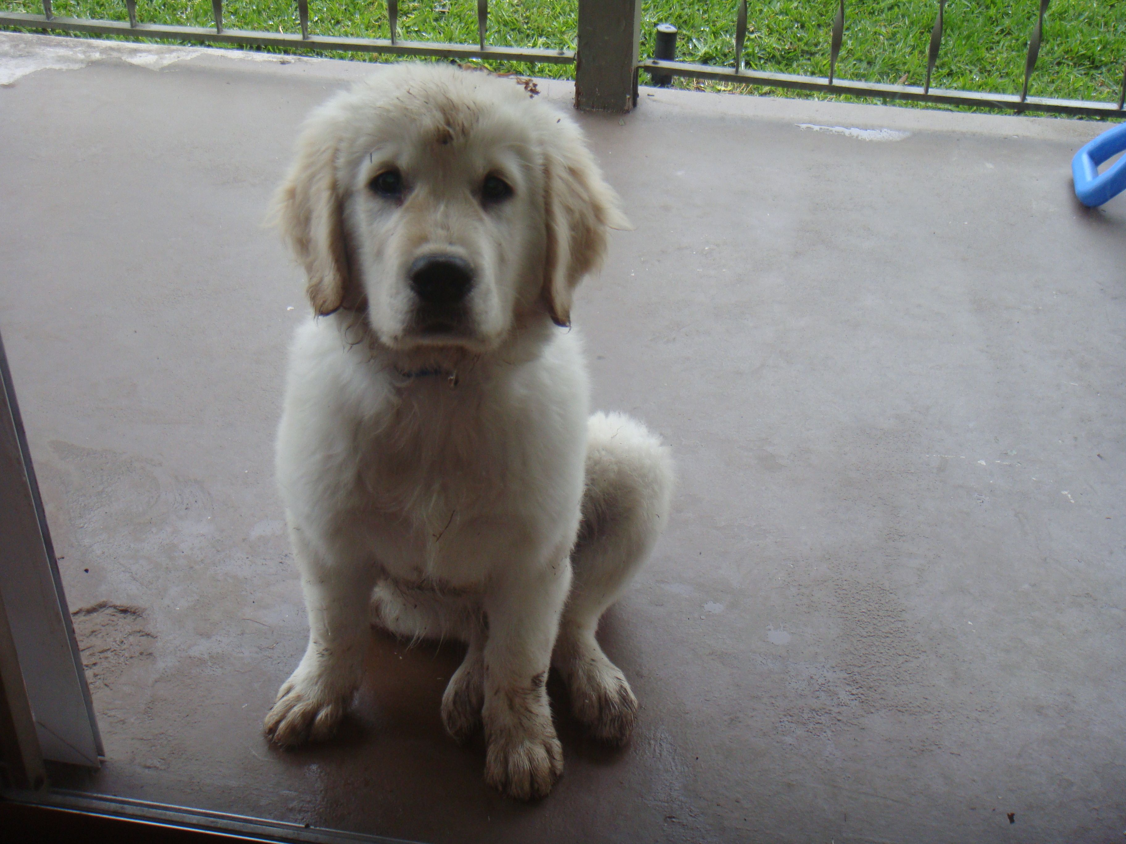 Aww Puppy Moose Adorable Golden Retriever Names Golden