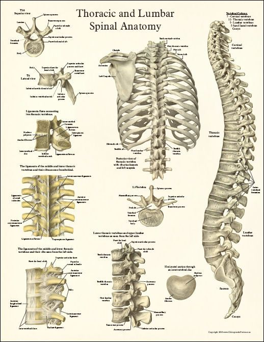 Thoracic Spine Anatomy Poster Look it's the spine! Well ...