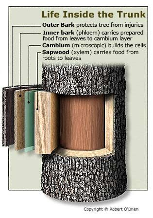 how trees grow   the outer bark protects the inner wood tree trunk anatomygoogle tree trunk anatomygoogle tree trunk anatomygoogle tree trunk anatomygoogle