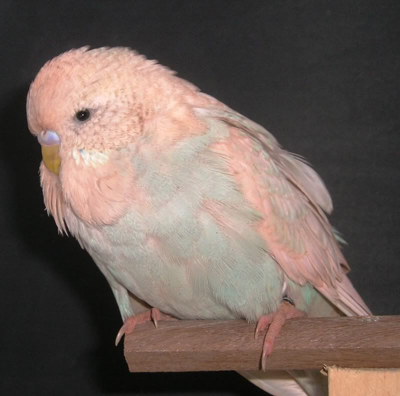 Pink Canary Birds Of A Pink Budgie That Is Pink Because