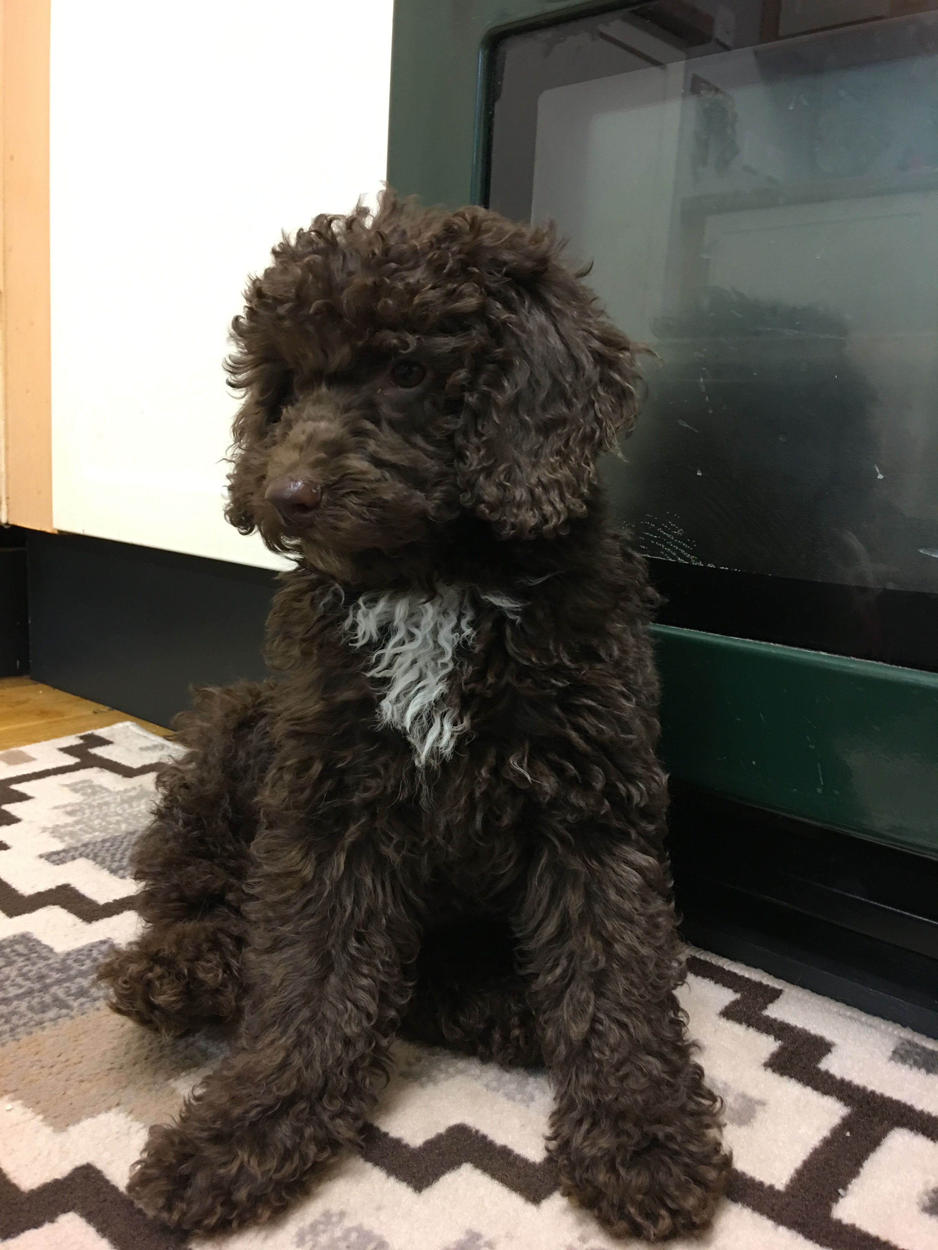 Our New Family Member Indy Dog Pictures Sheepadoodle Poodle