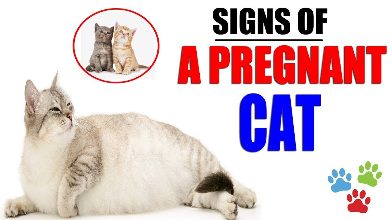 Signs Of A Pregnant Cat About To Give Birth How Do You Know Your Cat I Pregnant Cat Pregnant Cats