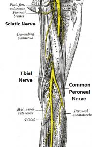 grays-sciatic-nerve-anatomy-image-II | Health/Fitness | Pinterest ...