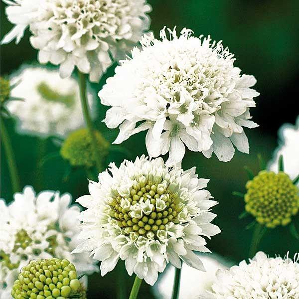 skabiose 39 snowmaiden 39 to flower pot pinterest. Black Bedroom Furniture Sets. Home Design Ideas