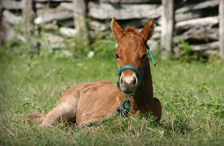 How ridiculously cute is this little guy?  I love quarter horses.