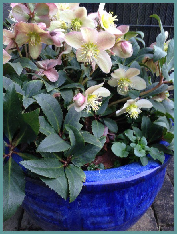 Helleborus x ballardiae Gold Collection® Pink Frost