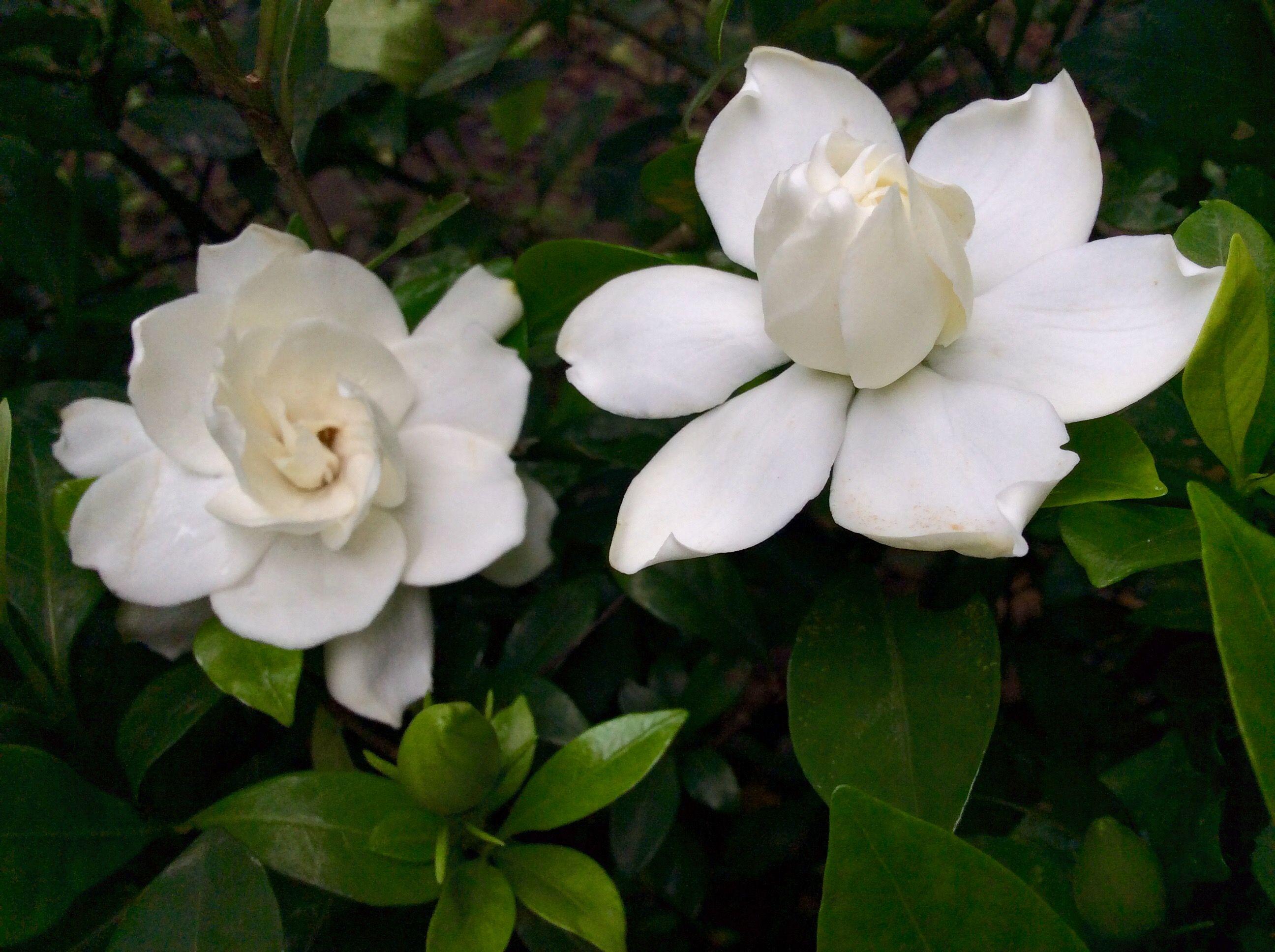 Gardenias 梔子花 玉堂春 Flowers Beautiful Blooms Bloom