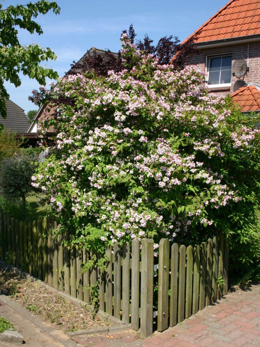 Rosendeutzie \'Mont Rose\' - Deutzia hybrida \'Mont Rose\' | Garten ...