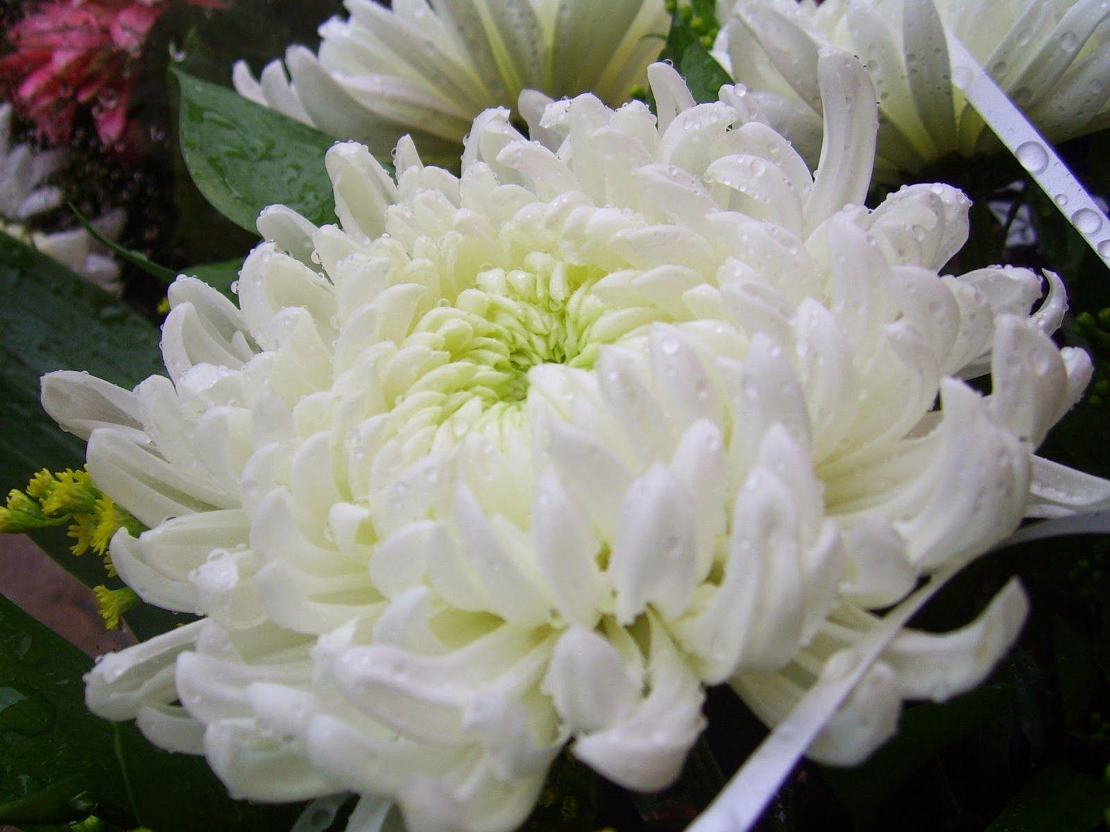 Chrysantheme Blanc Avec Images Chrysantheme Blanc Fleur De
