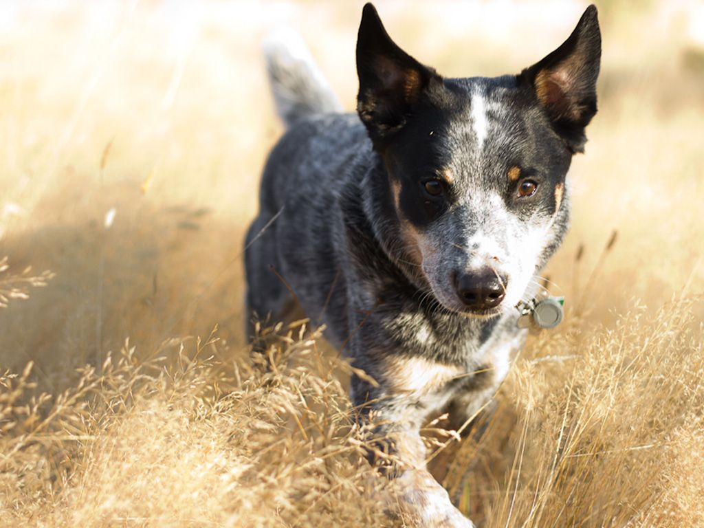 Australian Cattle Dog Wallpapers Hd Download Blue Heeler Dogs