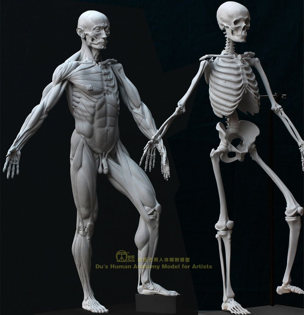 human anatomy model for artists - Google Search | Ref - Anatomy ...