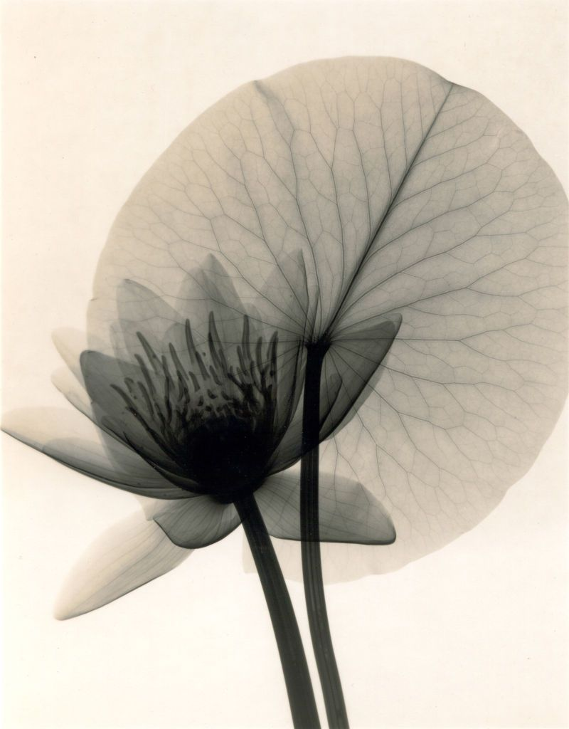 McMillan Nymphaea WaterLily X-Ray Art : More At FOSTERGINGER @ Pinterest