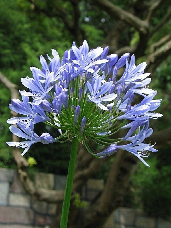 Plantfiles Pictures Lily Of The Nile African Lily Agapanthus Africanus 16 By Calif Sue Agapanthus Agapanthus Africanus African Lily