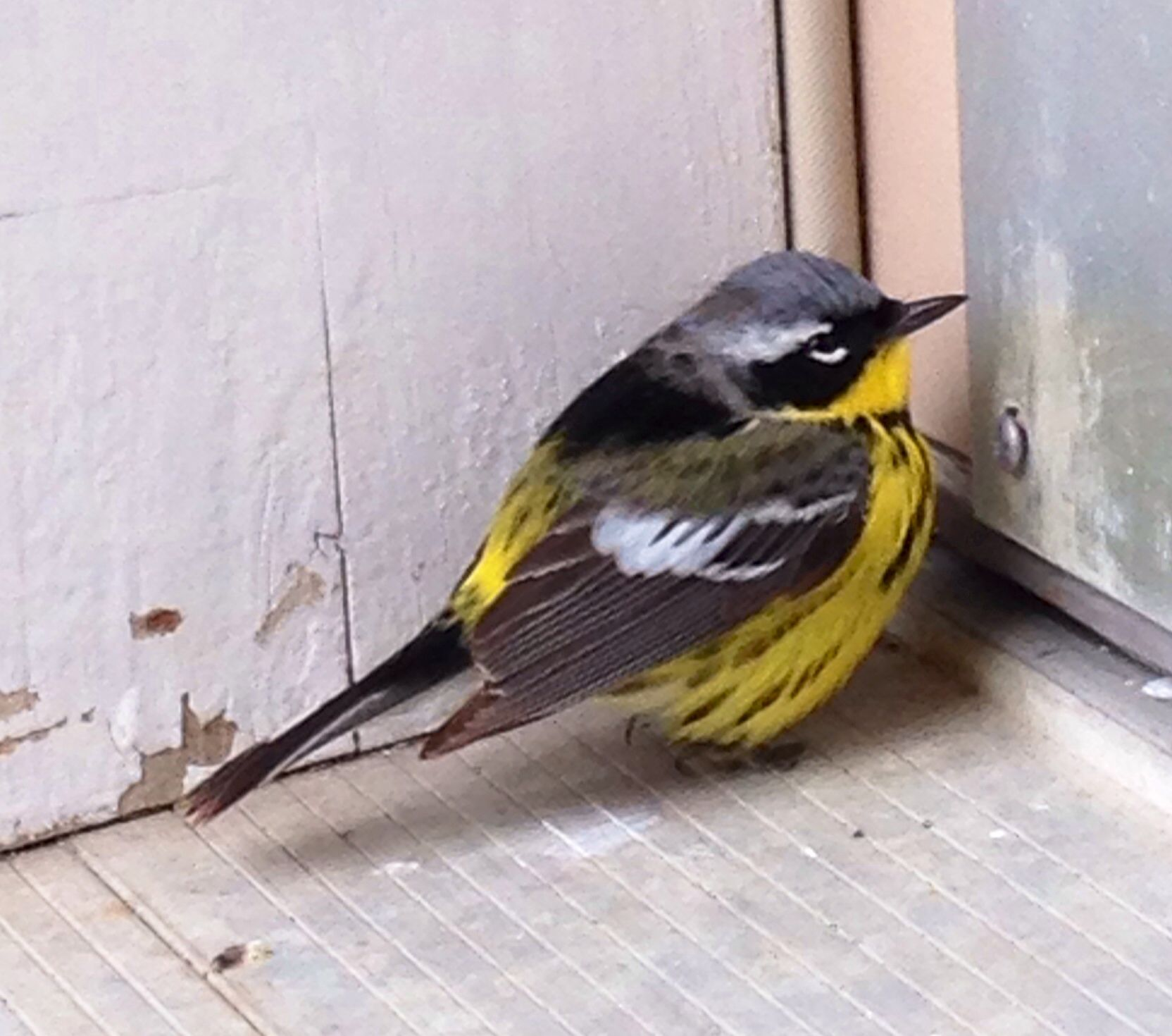 Magnolia Warbler - at my house